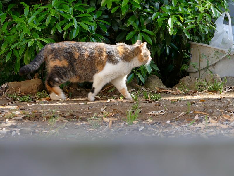 急ぎ足で歩いて来た三毛猫2