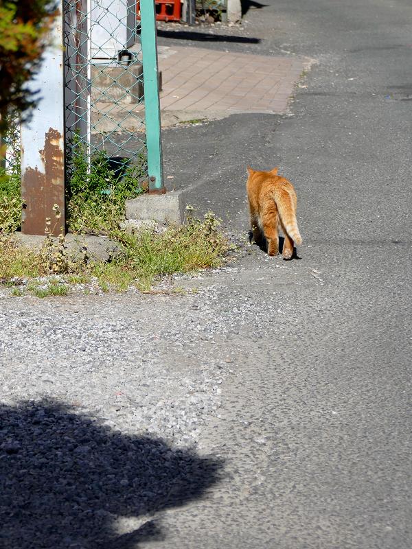 道を歩く茶トラ猫3