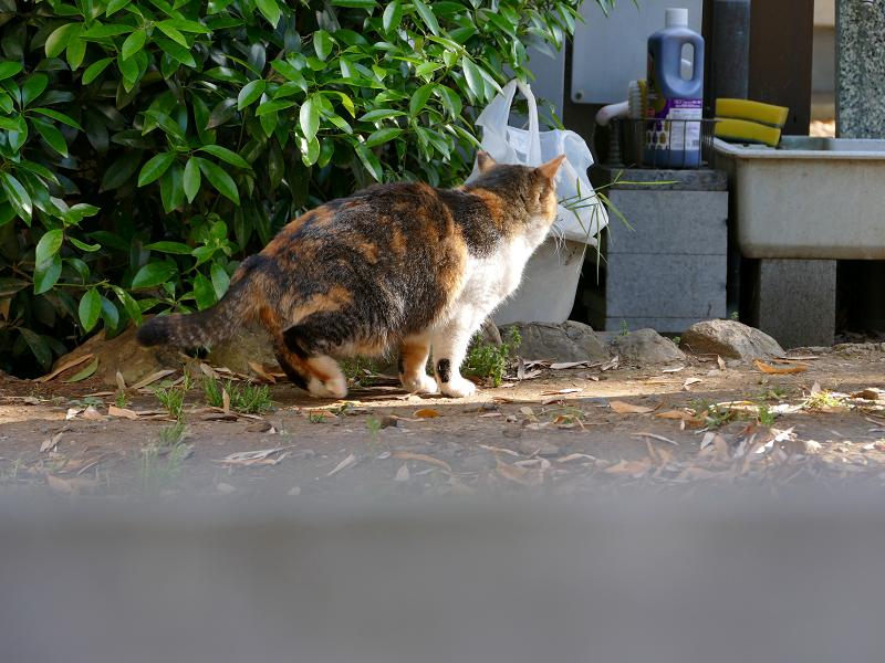 急ぎ足で歩いて来た三毛猫3