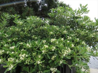 1 トベラ花