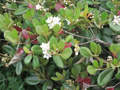 2 シャリンバイ花