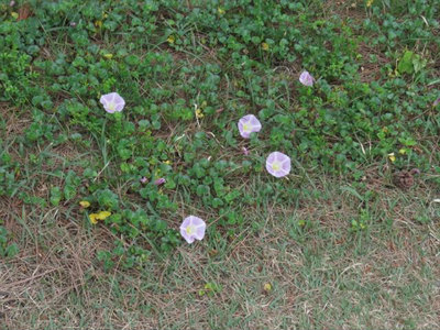 4 ハマヒルガオ花
