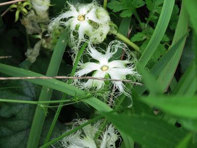 4 キカラスウリの花