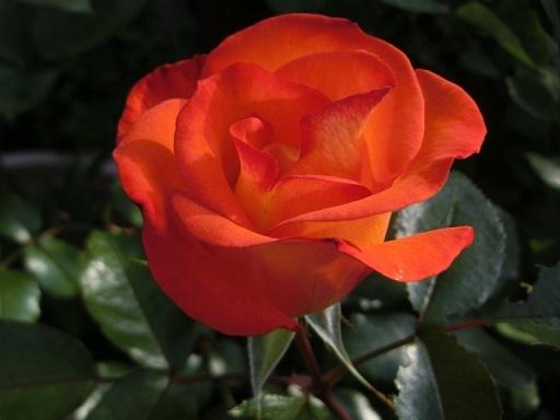 2018-04-20 rose