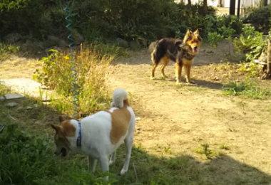 ときどき遊びに来る反対側の犬「クロ」とゴンタ