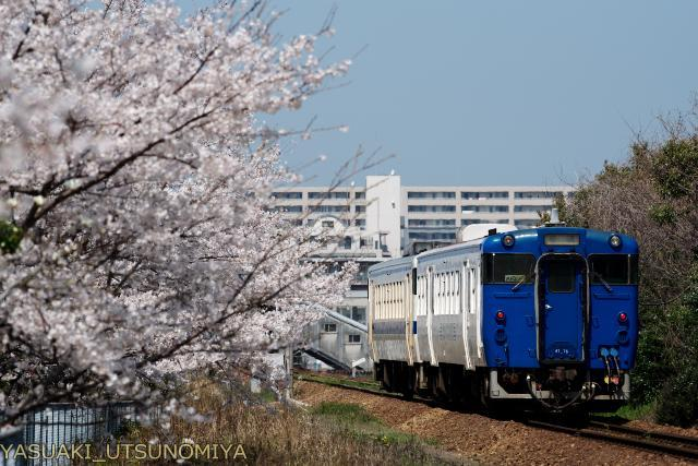 香椎線と桜
