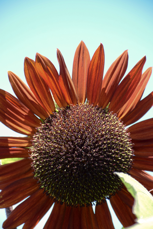 sunflower_18_7_22_1.jpg