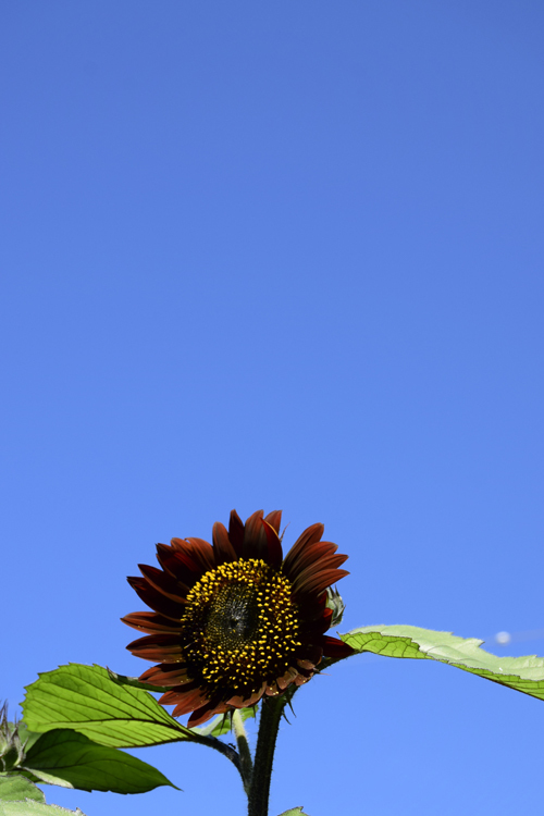 sunflower_18_7_22_2.jpg