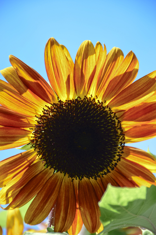 sunflower_18_7_22_3.jpg