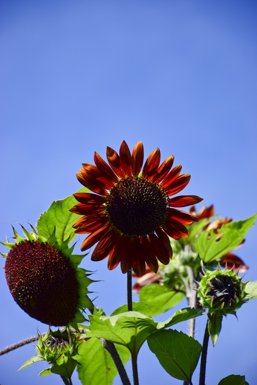 sunflower_18_7_22_4.jpg