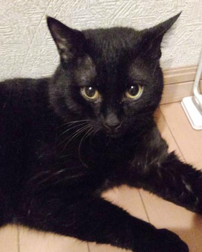 甘えん坊のイケメン黒猫リツくん(1歳位)
