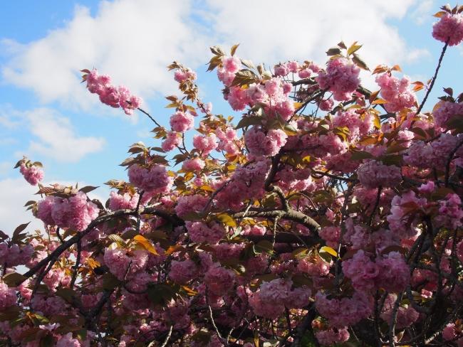 180415御所さんぽ③八重桜