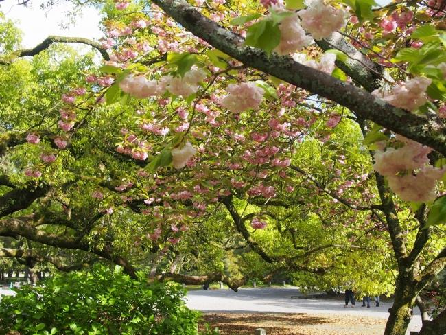 180415御所さんぽ⑥八重桜