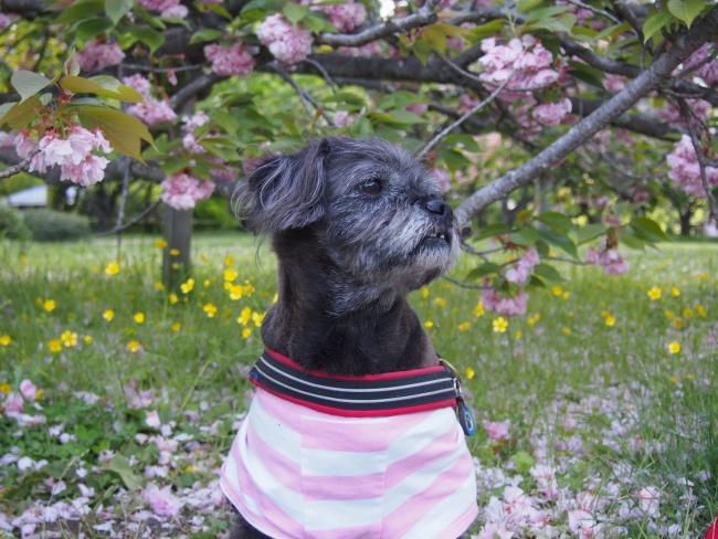 180418御所さんぽ③八重桜とふううた