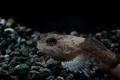 カマキリ稚魚 顔