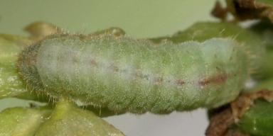 384-オジロシジミ幼虫7mm-2018-05-28-P1100229
