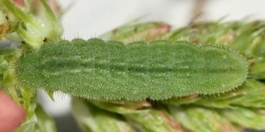 384-タイワンヒメシジミ終齢幼虫8mm-2018-06-04-P1100618