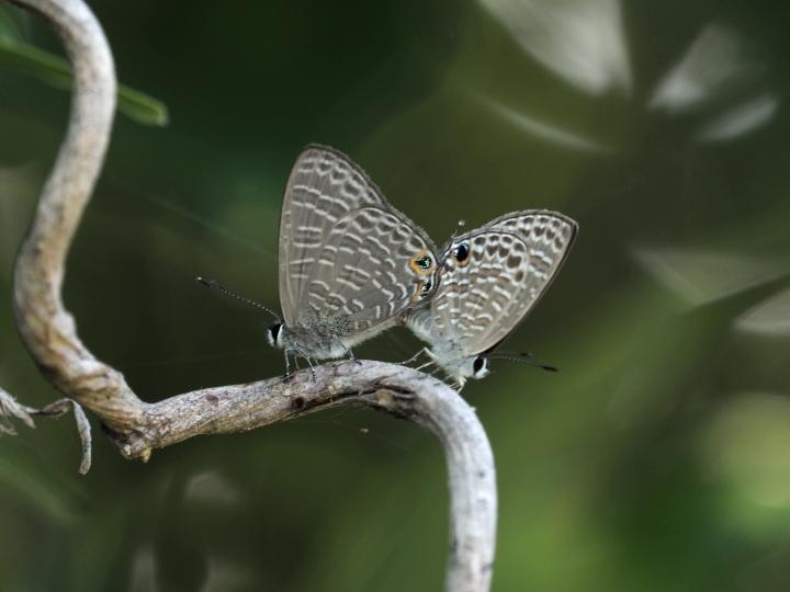アマミウラナミシジミ♂・♀-2018-05-25石垣島-M1m27200