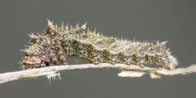 384-リュウキュウミスジ2齢幼虫6mm-2018-06-04P1100642