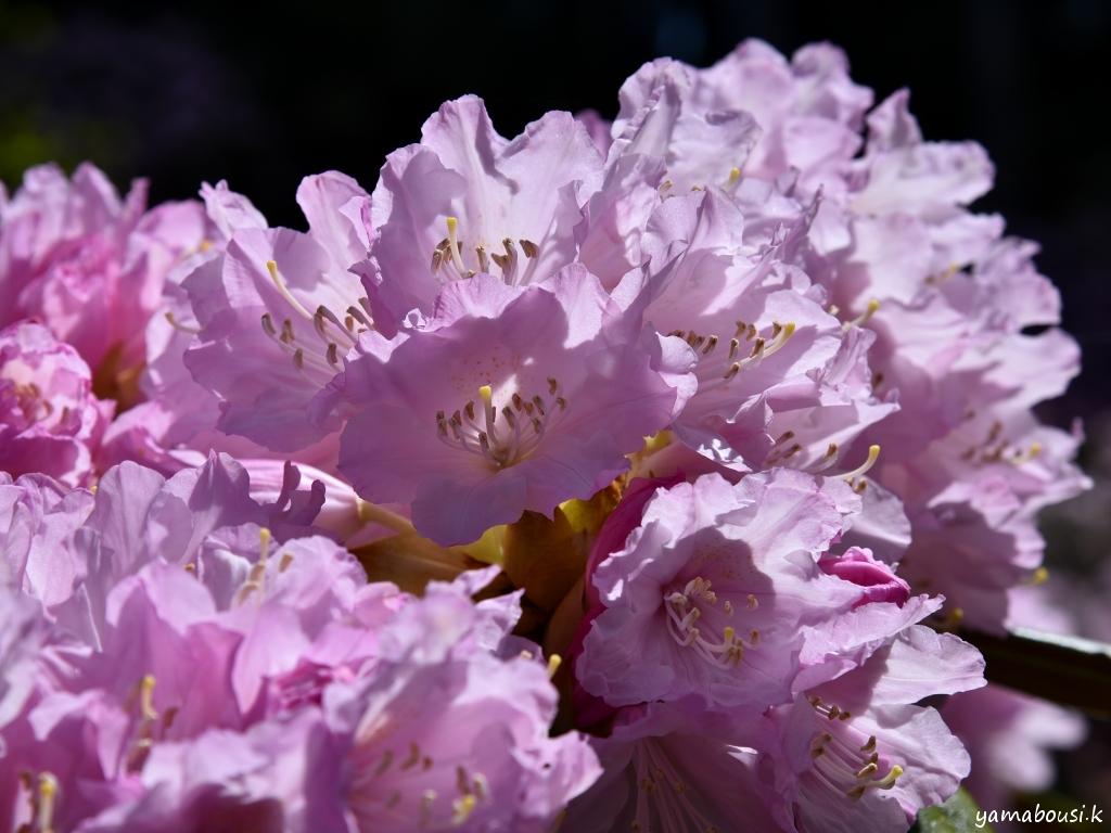 星の花公園シャクナゲ DSC_2727