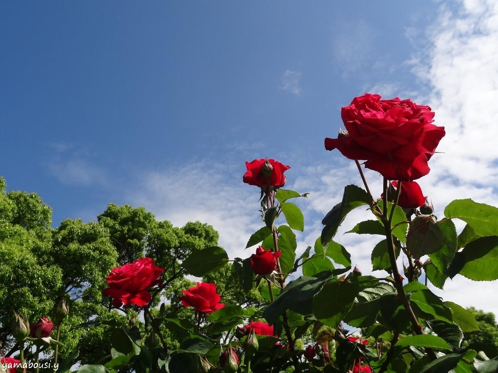 駕与丁公園バラ園 晴れの日のバラ 01