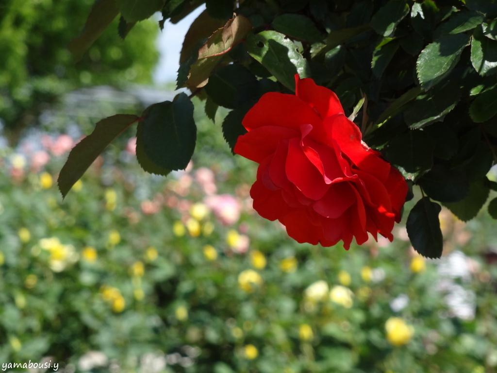 駕与丁公園バラ園 晴れの日のバラ 02