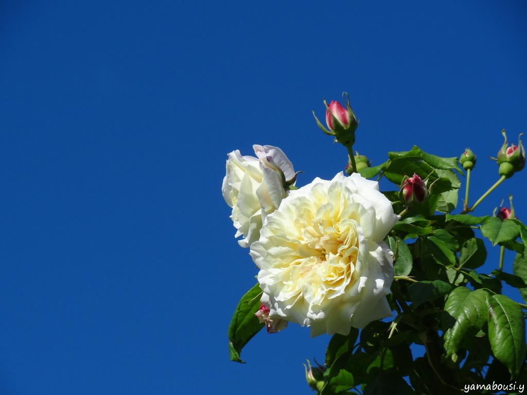 駕与丁公園バラ園 晴れの日のバラ 04