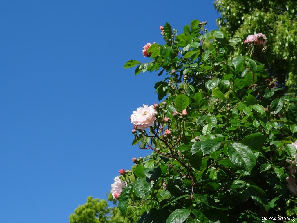 駕与丁公園バラ園 晴れの日のバラ 03