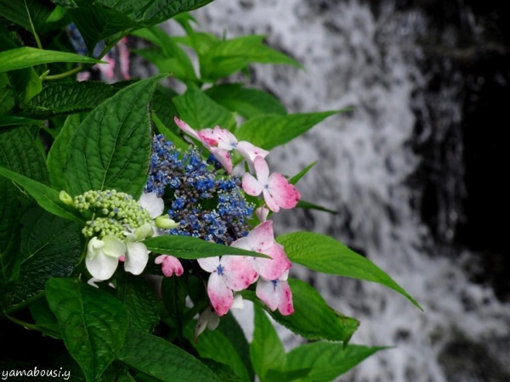 滝と紫陽花01