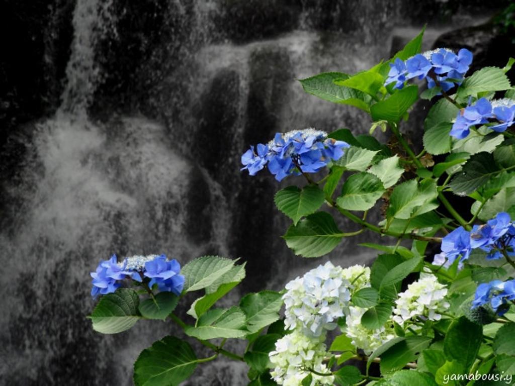 滝と紫陽花02