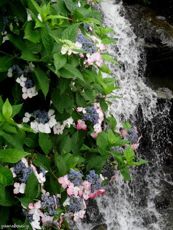滝と紫陽花03