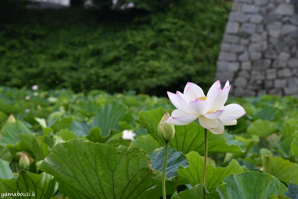舞鶴公園 蓮の花DSC_9383
