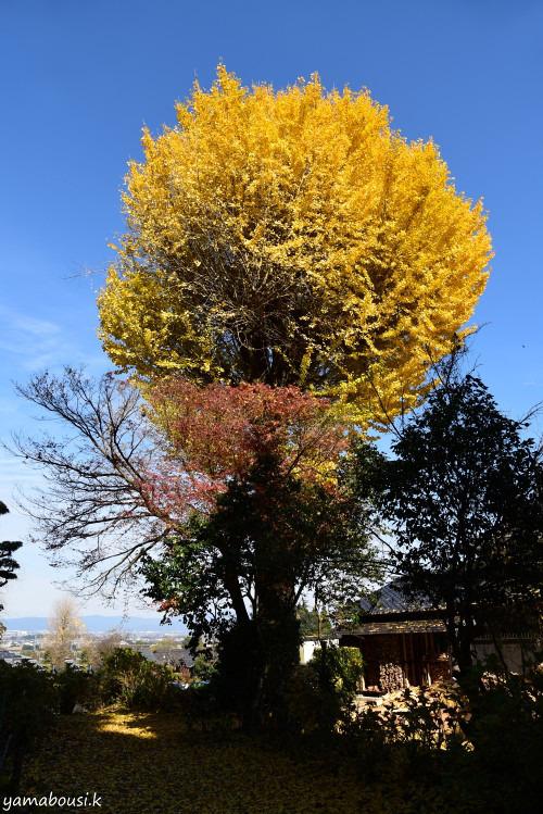 千光寺のイチョウ(銀杏)