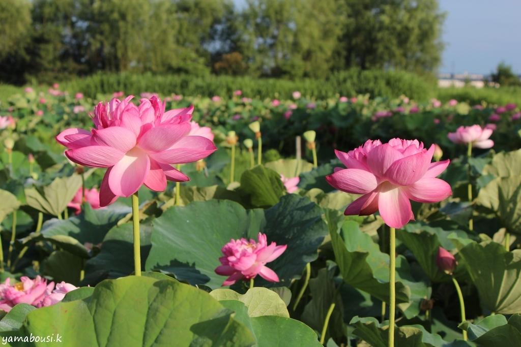 蓮の花IMG_5648