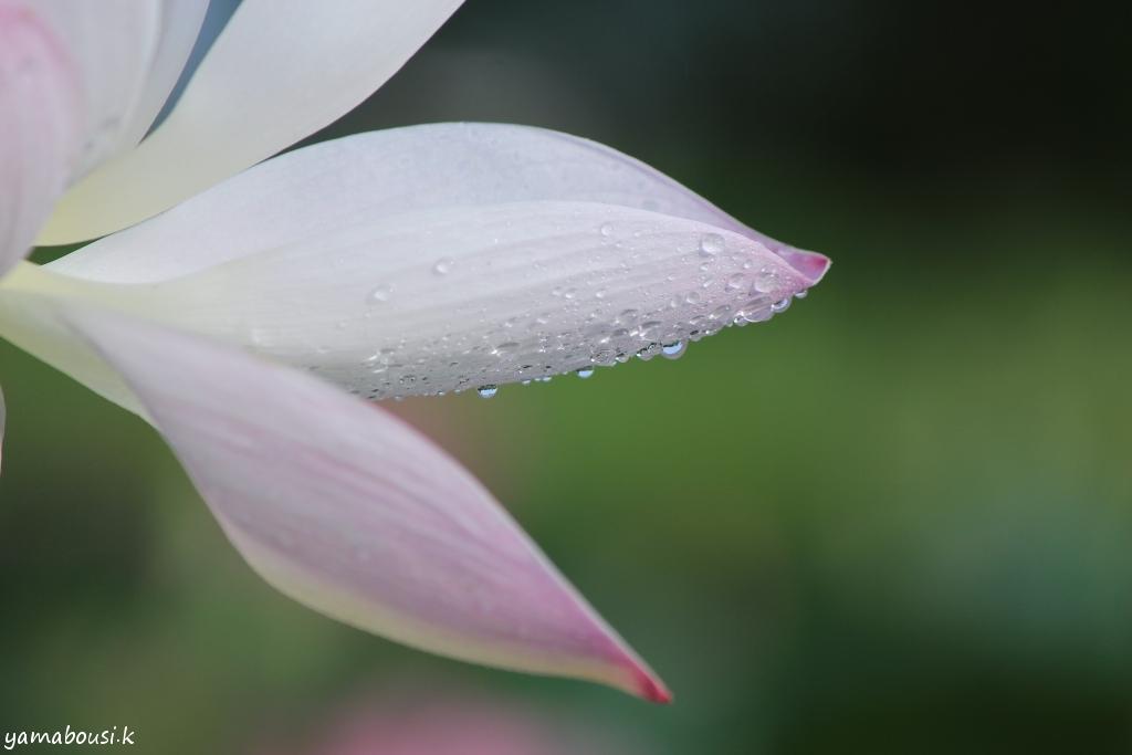 蓮の花IMG_5661