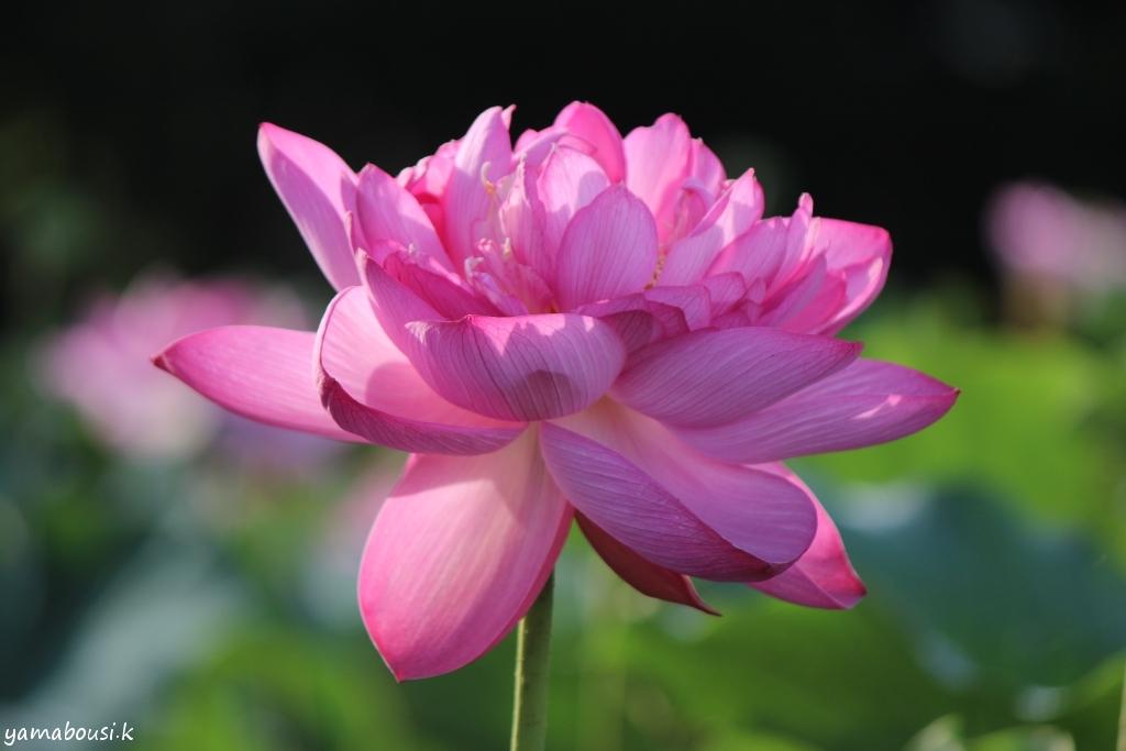 蓮の花IMG_5687