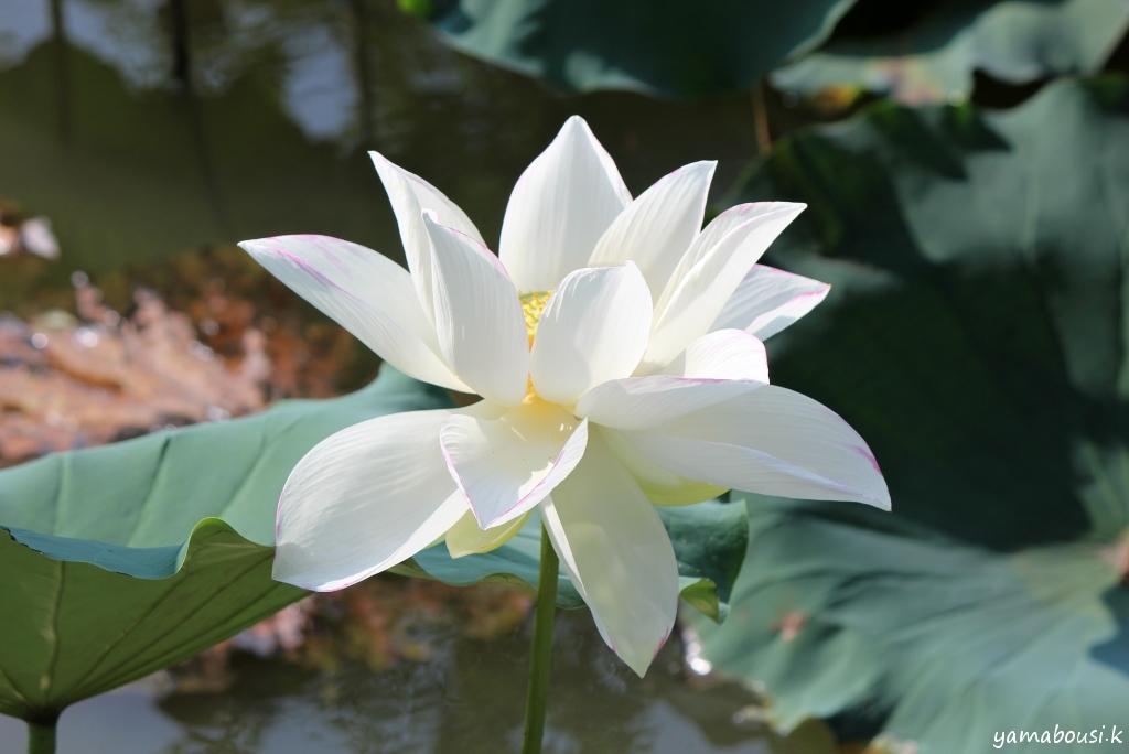 ひょうたん島公園 白い蓮 02