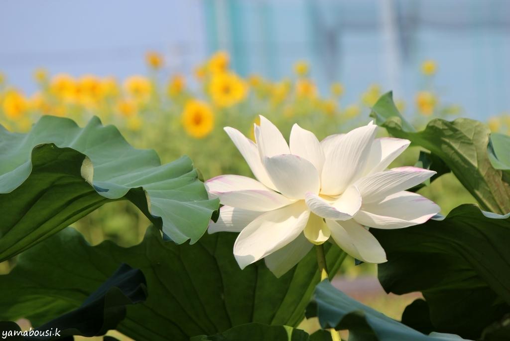 ひょうたん島公園 白い蓮 03