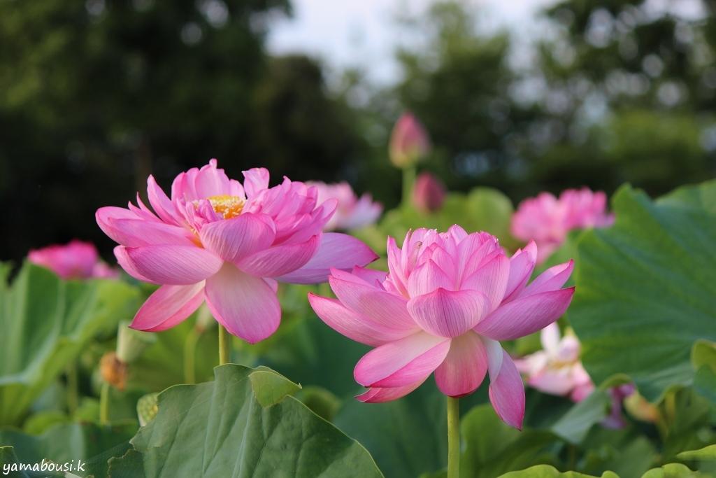 こなん水辺公園 蓮の花 IMG_5381