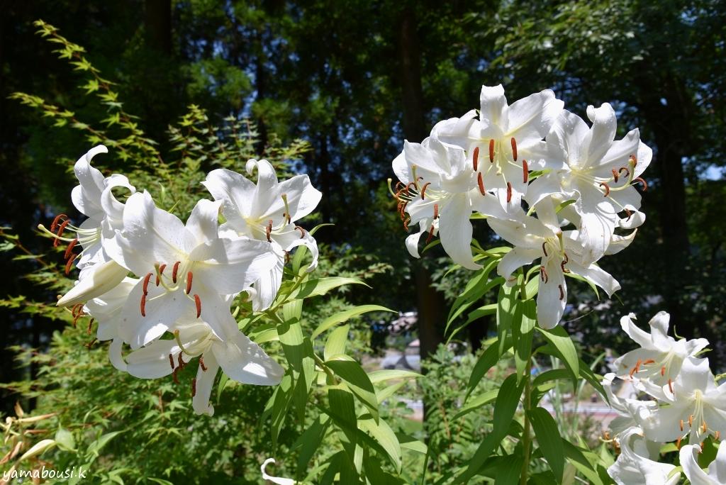 福智山ろく花公園 カサブランカ DSC_0015