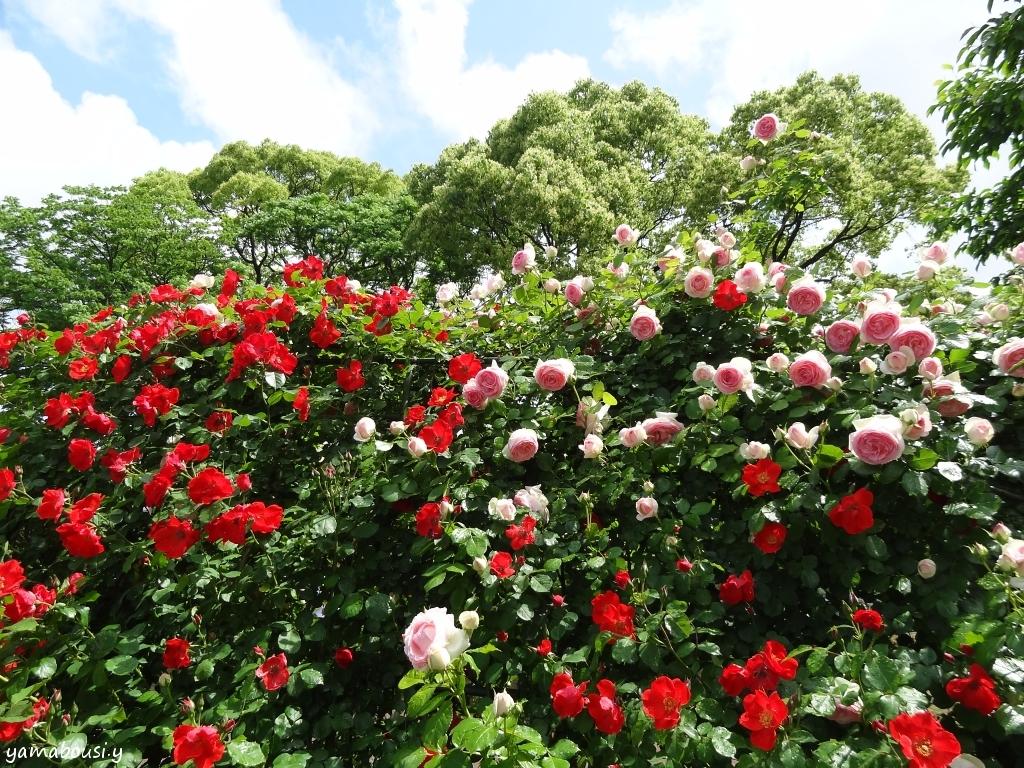 駕与丁公園バラ園 つるバラ01