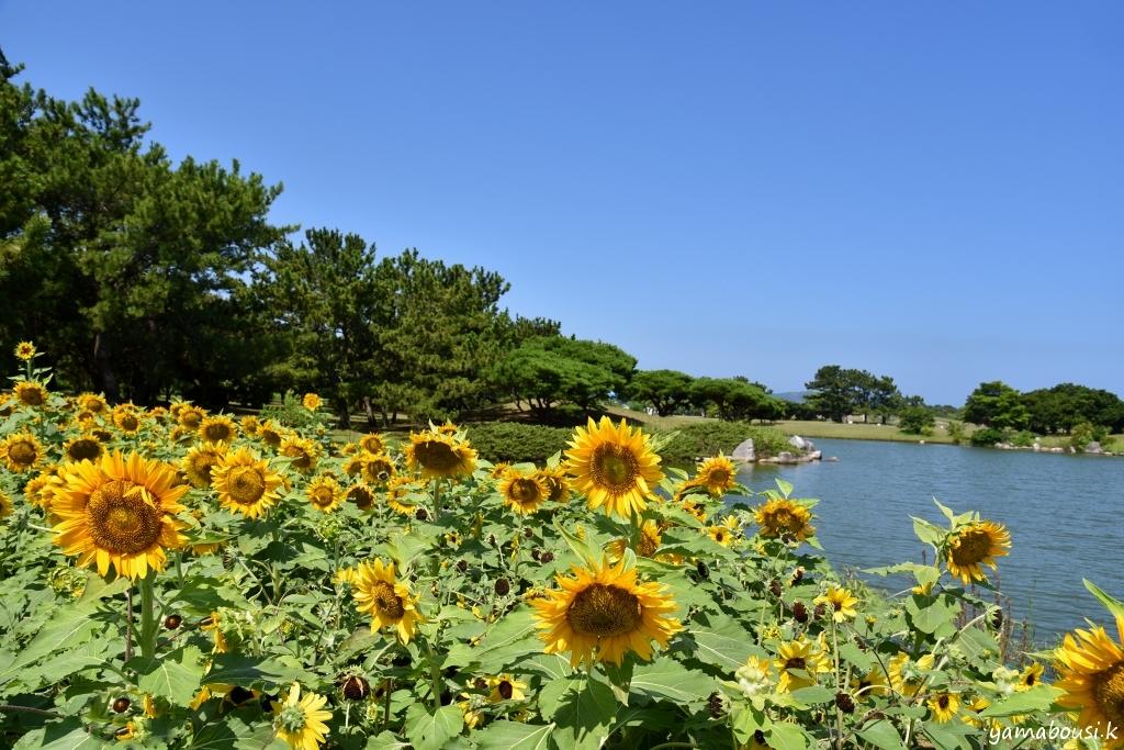 海の中道海浜公園 ヒマワリ2