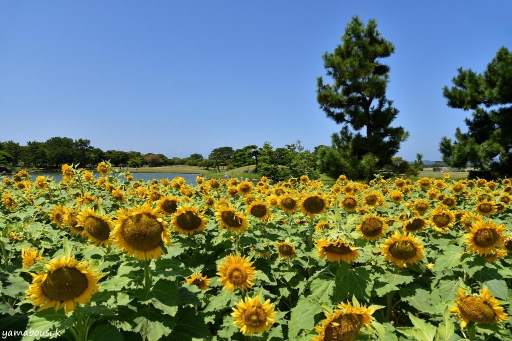 海の中道海浜公園 ヒマワリ6