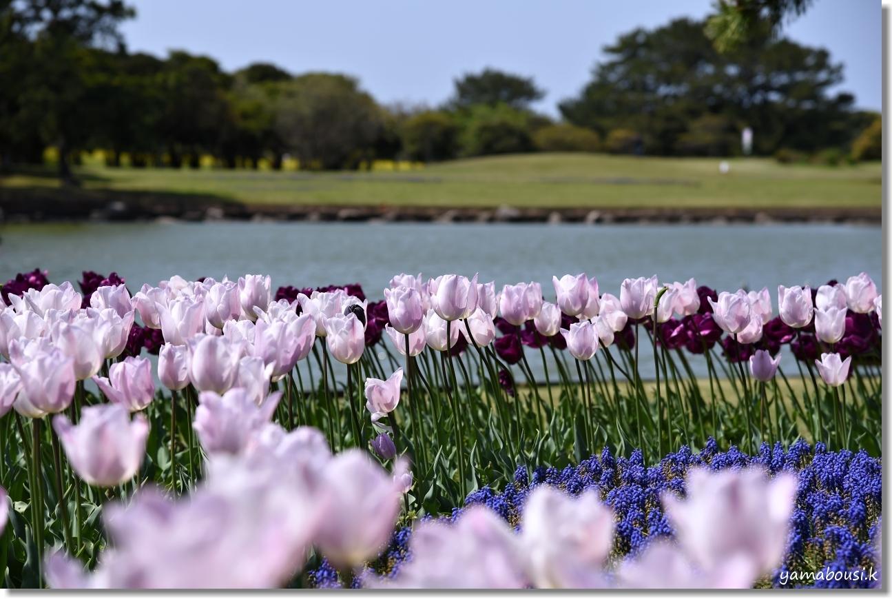 チューリップと春の風 5