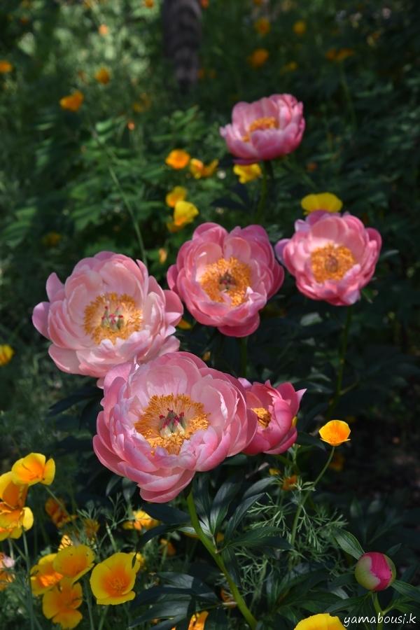 芍薬と花菱草(ハナビシソウ)