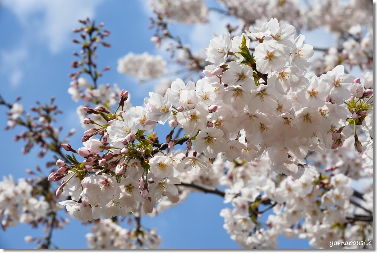 駕与丁公園 桜(ソメイヨシノ) 3