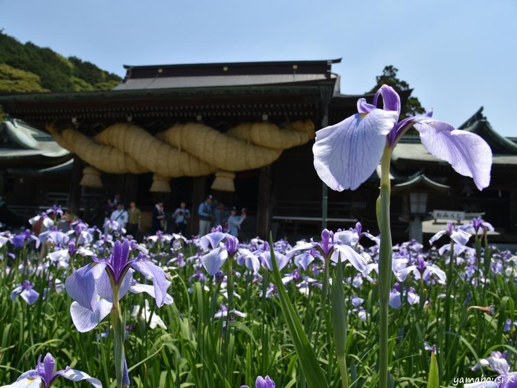 宮地嶽神社 江戸菖蒲 DSC_7372