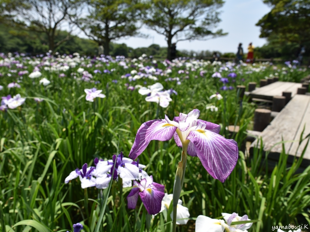 宮地嶽神社 江戸菖蒲 DSC_7557