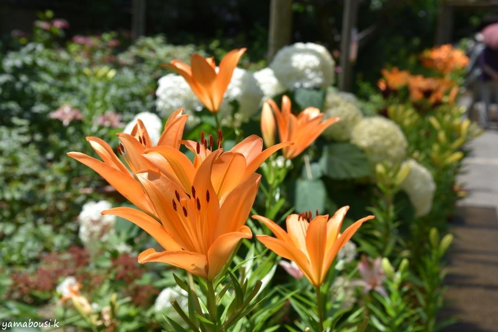 筥崎宮花庭園 百合の花 DSC_8632