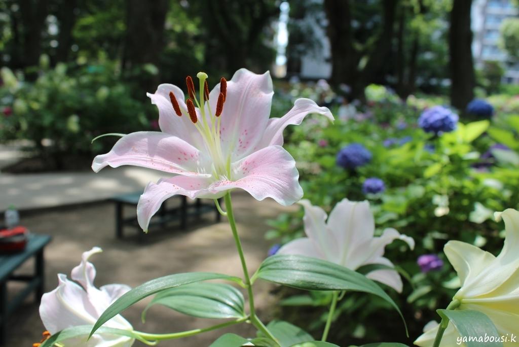 筥崎宮 百合の花 IMG_7529